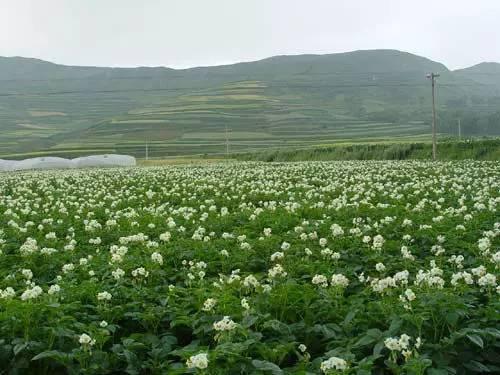 岚县首届 土豆花开了 旅游文化月精彩纷呈图片